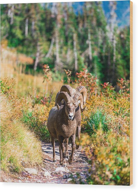 Mountain Goats Wood Print by Rohit Nair