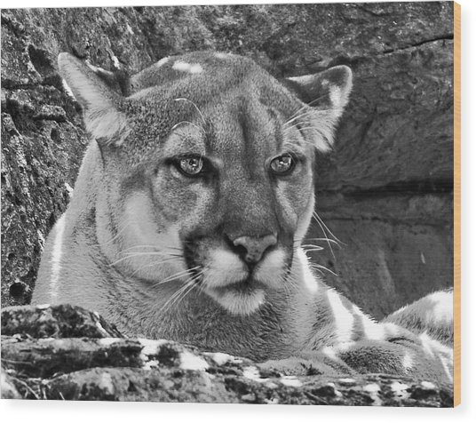Mountain Lion Bergen County Zoo Wood Print