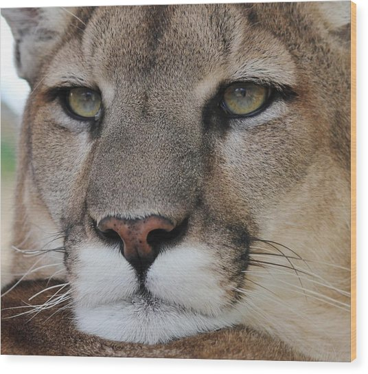 Mountain Lion Portrait 2 Wood Print