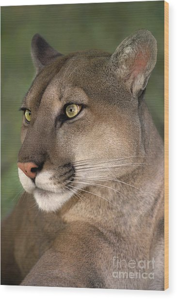 Mountain Lion Portrait Wildlife Rescue Wood Print
