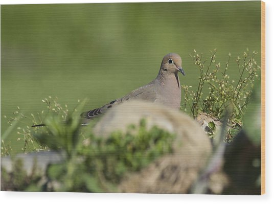 Mourning Dove 1 Wood Print