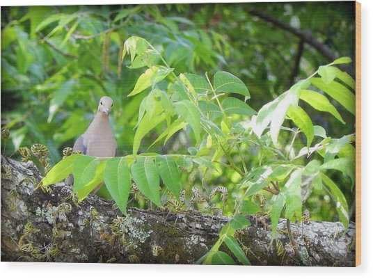 Mourning Dove Wood Print by Lynn Griffin