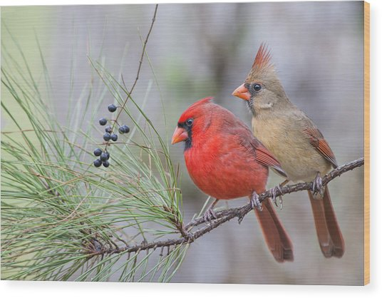 Mr. And Mrs. Redbird In Pine Tree Wood Print