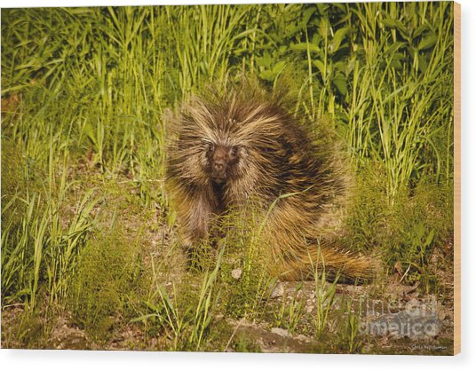 Mr. Porcupine Wood Print by Chris Heitstuman