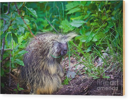 Mrs. Porcupine  Wood Print by Chris Heitstuman