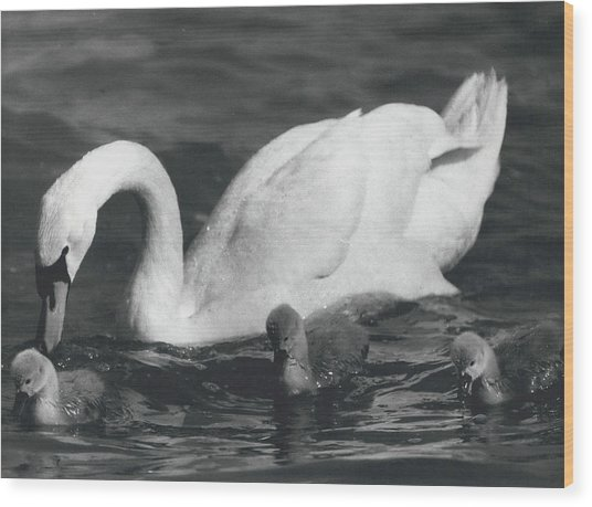 Mrs, Swan And Her Kids Enjoy Spring - Sun Wood Print by Retro Images Archive
