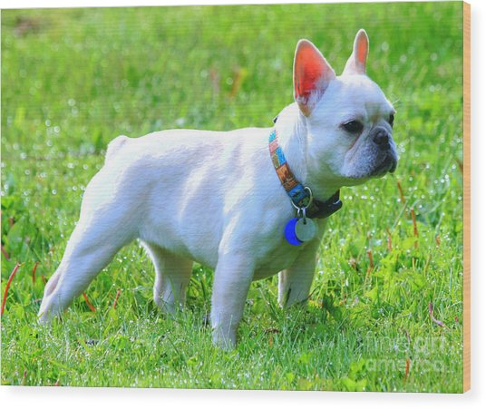 Ms. Quiggly - French Bulldog Wood Print
