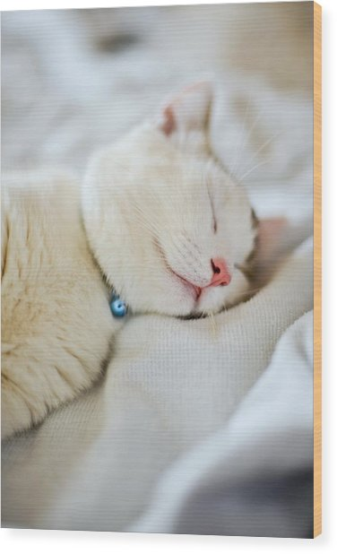 Munchkin Kitten Sleeping Wood Print by Nazra Zahri