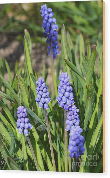 Muscari Armeniacum Wood Print