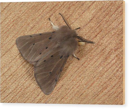 Muslin Moth Wood Print by Nigel Downer