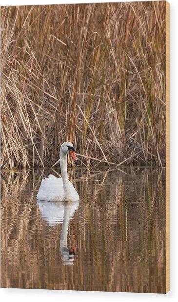 Mute Swan Reflection Wood Print