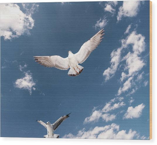 Myanmar, Inle Lake, Seagulls Inflight Wood Print by Martin Puddy