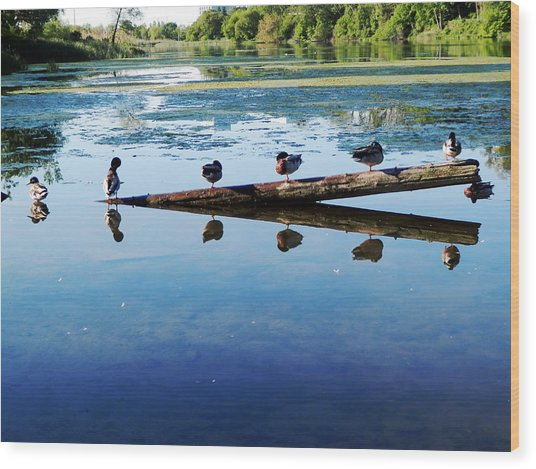 Napping Ducks Wood Print