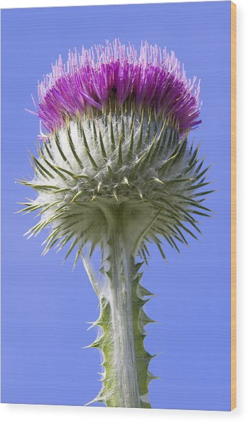 National Flower Of Scotland Wood Print