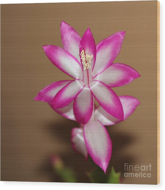 Natural Pink Christmas Cactus Wood Print