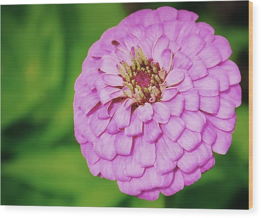 Nature's Boutonniere Wood Print by JAMART Photography