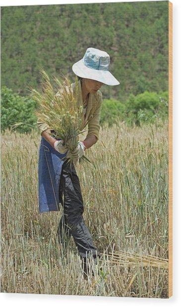 Naxi Minority Woman Harvesting Wheat Wood Print