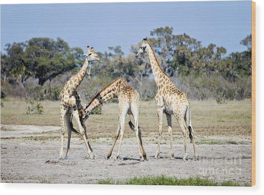 Necking Giraffes Botswana Wood Print
