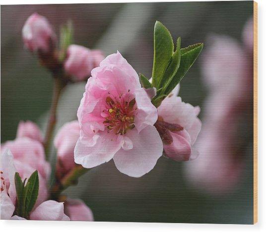 Nectarine Blossom Wood Print