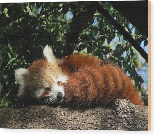 Nepalese Red Panda Wood Print
