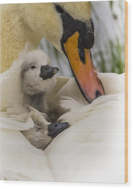 Nestled Cygnets Wood Print