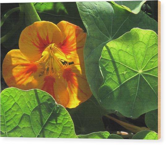 Nestled Nasturtium Wood Print