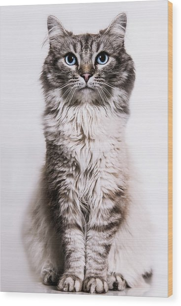 Neva Masquerade Cat In The Studio Wood Print by Kevin Vandenberghe