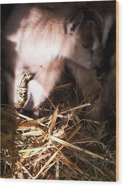 New Born Baby Goat Wood Print by Nickolas Kossup