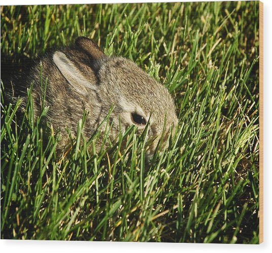 The Baby Cottontail Wood Print