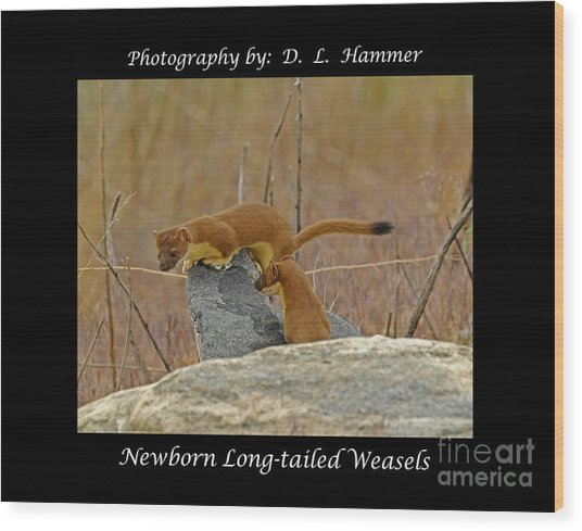 Newborn Long-tailed Weasels Wood Print by Dennis Hammer