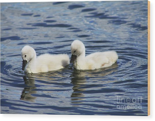 Newborn Mute Swans Wood Print