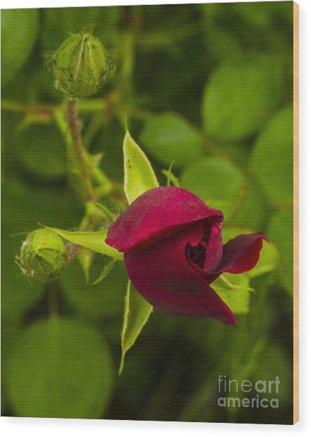 Newly Budding Rose Wood Print by Deborah Smolinske