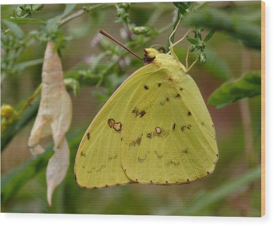 Wood Print featuring the photograph Newly Emerged Cloudless Sulphur Butterfly With Chrysalis In Background by Daniel Reed