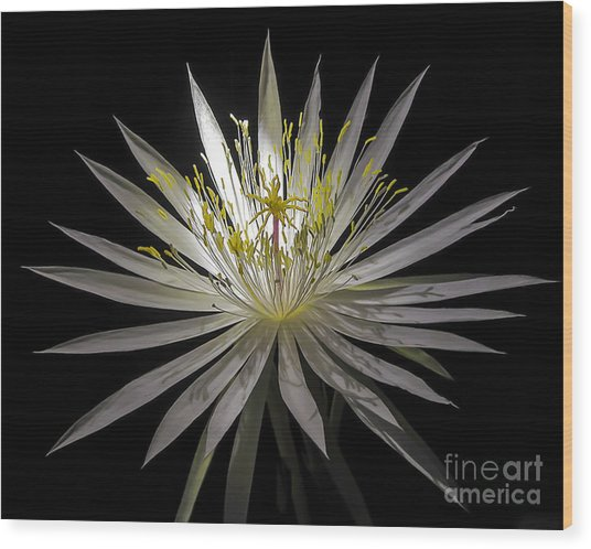 Night-blooming Cereus 1 Wood Print