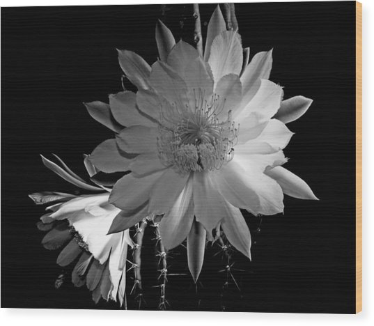 Nightblooming Cereus Cactus Flower Wood Print