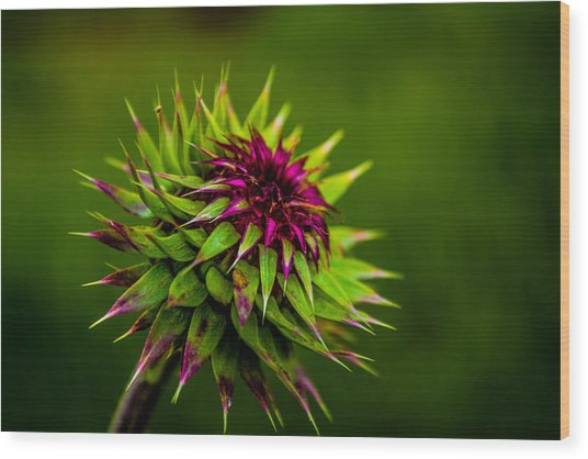 Nodding Spines Wood Print