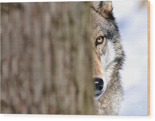 North American Gray Wolf Behind Tree Wood Print