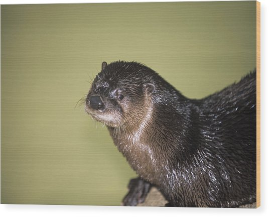 North American River Otter Wood Print by Sally Mccrae Kuyper/science Photo Library