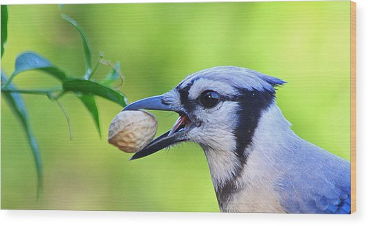 Northern Blue Jay Wood Print