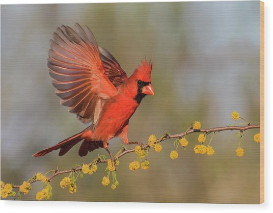 Northern Cardinal Male Landing Wood Print by Larry Ditto