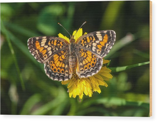 Northern Crescent Butterfly Wood Print