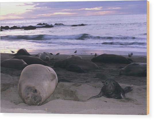 Northern Elephant Seal Cow And Pup At Sunset Wood Print