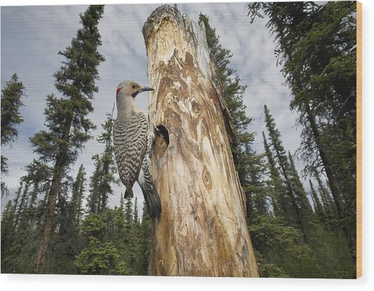 Northern Flicker At Nest Cavity Wood Print