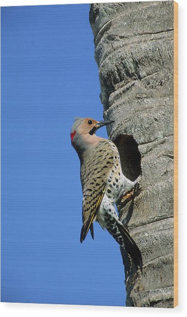 Northern Flicker (colaptes Auratus Wood Print