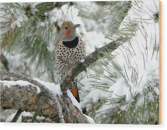 Northern Flicker On Snowy Pine Wood Print