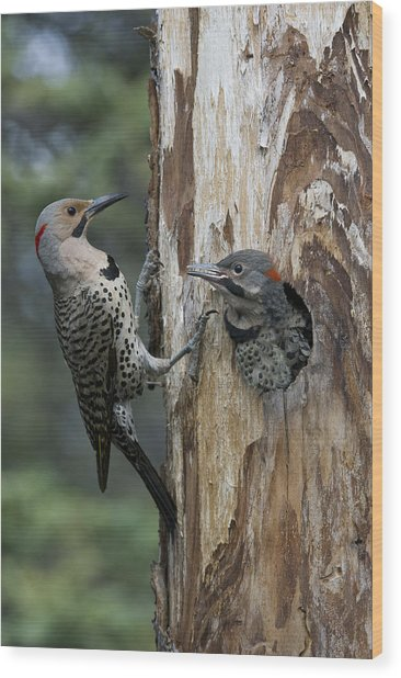 Northern Flicker Parent At Nest Cavity Wood Print