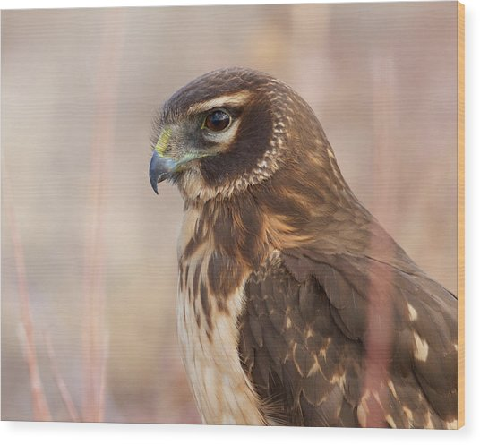 Northern Harrier Female Wood Print