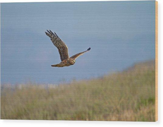 Northern Harrier In Flight Wood Print