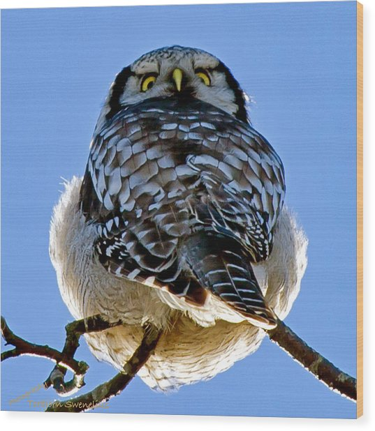 Northern Hawk Owl Looks Around Wood Print