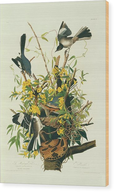 Northern Mockingbirds Wood Print by Natural History Museum, London/science Photo Library